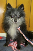 bth_dog20Jo20Jo20male20pom20720yrs20GW_zps4766ac4f.jpg