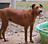 th_dog20Ginger20Rhodesian20Ridgeback20mixed20breed20220GW2011_1_12.jpg