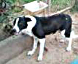 th_dog20Trixie20Border20Collie20pure20bred20GW_ja205_28_12-1.jpg