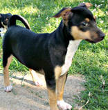 th_dog20karr20puppye20female20GW_pk208.jpg